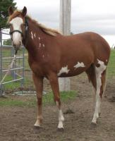 <h2></h2><p>PHOENIX is a 2009 paint filly, she's purebred but has no papers. She came from the same place as Ginger. She's quiet and loves to be with people. Her owner will board her here until the end of July/11, to give her time to get her new home ready.<br></p>