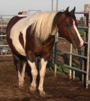 <h2></h2><p>PATCHES is a 2000 grade paint mare. She was originally rescued as a 2 yr old from the meat pen at an auction. She's had 2 training accidents and so is terrified of the saddle. We have placed her in a home with Misty, where she'll never be ridden, she'll just be loved and well cared for.<br></p>