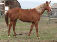 <h2></h2><p>BAILEY is a 2009 registered Paint filly. We outbid the meat buyer at an auction to save her.  Her new owner is an experienced trainer, he's gentle and patient, which is what Bailey needs as she's a more nervous type horse. <br></p>