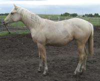 <h2></h2><p>SINOLA is a 2010 registered QH filly that we rescued from an auction. She is her new owner's first horse and they are doing well working together. She will be boarded here for a few months for her owner to learn more about how to train her.<br></p>