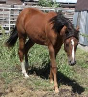 <h2></h2><p>TIKA is a 2011 Thoroughbred/QH cross filly who was born here (Tosca is her mother)  Her new owners fell in love with her the first time they met her, and Tika connected to them right away. She's boarded at a stable quite close to us. <br></p>