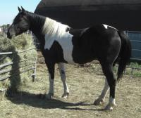 <h2></h2><p>MAGGIE is a 2006 Percheron/Paint cross mare. Her owner brought her to us, as she didn't know how to train her any further, and wanted her to be trained and in a good home. She now has a home with a great family who will finish her training and use her for pleasure riding. <br></p>