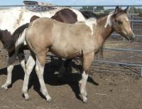 <h2></h2><p>GEORGIA is an April 2013 paint/QH cross filly. She was here because a friend asked us to take her and her mother (Patches). She's been purchased by one of our volunteers, and will be boarded here.<br></p>