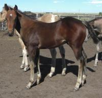 <h2></h2><p>ROCKY is a May 2013 purebred QH stud colt. He came with his mother Mira. He's at the same place as Levi.<br></p>