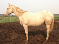 <h2></h2><p>FANTASIA is a May 2014 QH filly. She's also gone to the same couple who have Lily and Katie.<br></p>