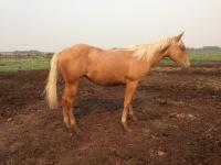 <h2></h2><p>DALLAS is a June 2014 QH filly. She's gone to the same couple who adopted Lily and Katie.<br></p>