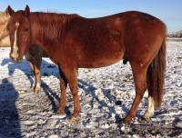 <h2></h2><p>APOLLO is a 2011 QH/Arab gelding we purchased from an owner whose life circumstances changed. He's halterbroke and quiet. He's now with a lovely couple who will train him to be ridden and he'll have a good life.<br></p>