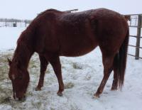 <h2></h2><p>HOPE is a 2010 filly, looks to be a QH. She was abandoned at the boarding stable, and the stable owners had no choice but to call in the authorities. She had to go to auction, as it's the law. We were able to outbid the meat buyer. She's now in a home with a great family who love her.<br></p>