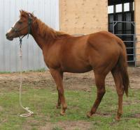 <h2></h2><p>JAZZ is a 2008 grade quarter horse filly that came out of the meat pen at an auction. Her new owner is a young girl who has been volunteering here for a couple of months. She bonded with Jazz immediately. Christmas morning 2011, Jazz became her horse.<br></p>
