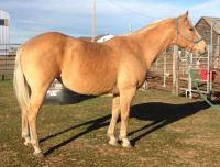 <h2></h2><p>DAISY is a 2005 QH mare who was surrendered to us. We gave her a chiro treatment, trimmed her feet, and she had a refresher on manners and riding. She's now with a family who immediately loved her, and she did everything they asked of her. Daisy was picky about who worked with her, but this family she liked.<br></p>
