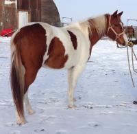 <h2></h2><p>SUMMER is a 2003 registered paint mare. Her new owner absolutely adores her, and will be finishing her saddle training. She was a favorite here and sure will be missed.<br></p>
