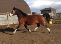 <h2></h2><p>INDIGO is a 2011 Welsh pony who was afraid of everything. She's been placed with the same lady who has Tammy, and is now much quieter and learning to trust people.<br></p>