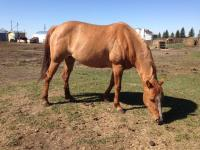 <h2></h2><p>DORI (now called Amber) is a 2010 Qh filly. She's with a wonderful lady who will be doing all her riding training herself.<br></p>