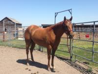 <h2></h2><p>CINNAMON is a May 2015 QH filly we got from the meat buyer. She's now with a very nice man who has the experience to train a young horse from scratch. </p>