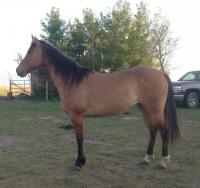 <h2></h2><p>MELODY (now called Zena) is a 2013 QH filly we got from a meat buyer. She's now owned by the husband of the lady who bought Neeka. It's his first horse. She will also be boarded here for a while for her owner to learn more about her.<br></p>