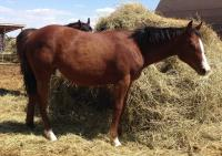 <h2></h2><p>STORMY (now called Foxy) is a 2014 QH filly we got from the meat buyer. Her owner is a lady who wants to train her own horse and wanted a young one so they could learn together.<br></p>