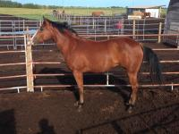 <h2></h2><p>STORMIE (now called Josie) is a 2014 QH filly we got from a meat buyer. She's now in BC with a young lady who is doing amazing with her.<br></p>