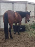 <h2></h2><p>RUBY is a 2011 registered QH mare. She's owned by a lady who will continue her training as a pleasure horse. This lady's daughter owns Sadie, so they will be at their new home together.<br></p>