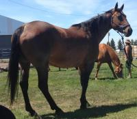 <h2></h2><p>MIRA is a 2005 QH we got from the meat buyer. She came in with a foal on her side and was already bred back, she's the mother of both Rocky and Jesse James. She's been placed wtih the son of a very good friend and has started her saddle training.<br></p>