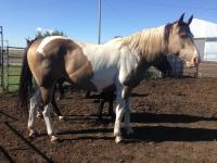 <h2></h2><p>SHILOH is a 2001 paint gelding. He's well broke and very quiet. His new owner plans to do trail riding with him.<br></p>