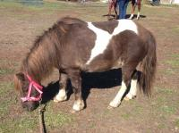 <h2></h2><p>TAMMY is a 2001 mini mare. She was found running loose, and no one came forward to claim her, so she was sent to auction. I brought her home, and placed her with a lady who specializes in rehabbing ponies. Tammy is doing fantastic.<br></p>