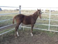 <h2></h2><p>DANCER is a 2008 registered quarter horse filly.  She is halterbroke and very quiet. She is now in her new home with her owner, a 13 year old girl. They are best friends and trust each other completely.<br></p>