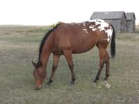 <h2></h2><p>FIREFLY is a 2007 Appaloosa filly. She was only 6 weeks old when we brought her home. She is very tall for her age and will probably be 16HH when fully grown. She is super friendly and has had a lot of groundwork training. Her new owners are a nice couple who love Appaloosas and will finish her training.<br></p>