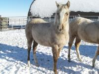 <h2></h2><p>CARLYN is a 2008  quarter horse  filly. She has the bloodlines of Skipper W, but has no papers.   She came from the same place as Selene. Her new owner is a young girl who will board her here for a while to get to know her and learn how to train her. She will go to her new home in May 2009.<br></p>