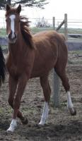 <h2></h2><p>LIBERTY is a 2009 thoroughbred filly that was an ASPCA seizure. She has come a long way since arriving here, and has bonded well with one of our volunteers, who has now purchased her. She will be boarded here for the winter, and then will move to her new home.<br></p>