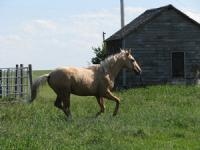 <h2></h2><p>CHARLIE is a 2006 grade palomino gelding. He was probably sent to the auction because only one testicle had decended and the owner didn't want to pay for the surgery to bring the other one down. We outbid the meat buyers, brought him home and had the surgery done. He was gelded at the same time. He is greenbroke and was ridden lightly in the summer of 08. He's very calm but can be a real character. He is now in his new home with a wonderful family who plans to have him trained to be a trick riding horse for their daughter. <br></p>