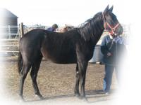 <h2></h2><p>SATIN is a 2007 black quarter horse filly.  She cut her leg badly as a baby and has a large scar and her hoof is permanently deformed.  She was going to be shipped for slaughter but thanks to a caring lady her life was spared and she came here.  Due to the cold and the snow this year (2009) she has now gone to Bear Valley Rescue where they have facilities to care for a horse with her disability.  We will miss her but know that she will have the best of care in her new home.<br></p>