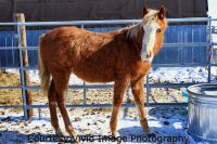 <h2></h2><p>LADYBUG is a 2008 registered quarter horse filly who has the bloodlines of Smart Little Lena and Peppy San Badger. She is well halter broke and is very calm and friendly. Her new owners are a young couple who will train her for riding and eventually use her for a broodmare.<br></p>