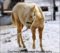 <h2></h2><p>SELENE is a 2008  quarter horse palomino filly. She has the bloodlines of Docs Hickory, but has no papers. She is halter broke and fairly quiet, and has a stocky build. We obtained her privately, so she didn't have to go through the auction. Her new owner is a very caring lady who adores her. She will be staying here and will continue on with her groundwork training.   Oct/09 - Selene has moved to a private acreage that is closer for her owner.                                              <br></p>