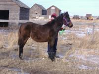 <h2></h2><p>TAMI is a 2007 grade bay filly. She came from the same auction as Cole. Her new owner is a young teenage girl who has worked hard on Tami's groundwork training and will start to ride her in the summer of 2009. She is high spirited but willing, and will be a great riding horse. <br></p>