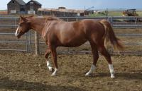 <h2></h2><p>JOY is a May 2014 registered QH filly we got from the meat buyer just before Christmas 2015. We have her registration papers and a signed transfer here. She's doing great with her groundwork lessons.</p>