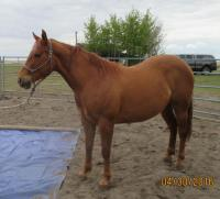 <h2></h2><p>PEANUT is a 2012 QH filly. She is purebred, and we do have the paperwork here to be able to. She requires a person with experience due to her abusive background. </p>