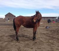 <h2></h2><p>AUTUMN is a 2015 quarter horse filly we got from the meat buyer. She's doing great with groundwork training and is smart and sensible.</p>