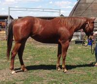 <h2></h2><p>AMELIA is a 2015 quarter horse filly from the meat buyer. She's very smart and has participated in one groundwork clinic.</p>
