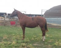 <h2></h2><p>TORI is a 2015 quarter horse filly we got from a benefit auction. She's very friendly and does well with her groundwork lessons.</p>