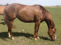 <h2></h2><p>CAMEO is a May 2012 QH filly that we outbid the meat buyer for at an auction. She's a well mannered horse and we've started her saddle training.</p>