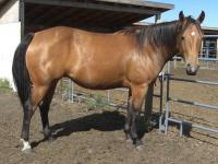<h2></h2><p>ARIEL is a 2009 registered quarter horse mare that came from the Mitchell Centre. She's very quiet and easy to work with, and has completely bonded with Brenda, so she'll be staying here at the rescue. She is used to help teach people about groundwork.