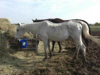 <h2></h2><p>DEENA is a 1986 Arab mare who arrived here the end of Sept/14.  Her owner was out of the country and put her in a boarding stable, when he came back, this is what she looked like, the stable hardly fed her. He brought her here as he didn't want to take the chance that it could ever happen again. She's on the road to recovery, and we'll be keeping her here for the rest of her life to be loved and pampered by everyone here.</p>