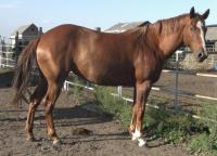 <h2></h2><p>SASHA is a grade 2006 mare that we were told is a solid color paint, we outbid the meat buyer at an auction to save her. She's well broke, but only lets Brenda ride her. She is however, gentle with volunteers to learn about groundwork.</p>