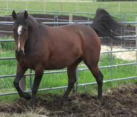 <h2></h2><p>SUGAR is a 2008 registered quarter horse mare we outbid the meat buyer for at an auction. She's bonded with Henry and he's done all her training. We use her to teach volunteers about groundwork, tacking up, and sometimes use her to give someone a ride.</p>