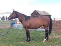 Brandi is a 2005 registered Thoroughbred mare. Her new owner is boarding her with us and is taking lessons to be able to help this mare become the best she can be.